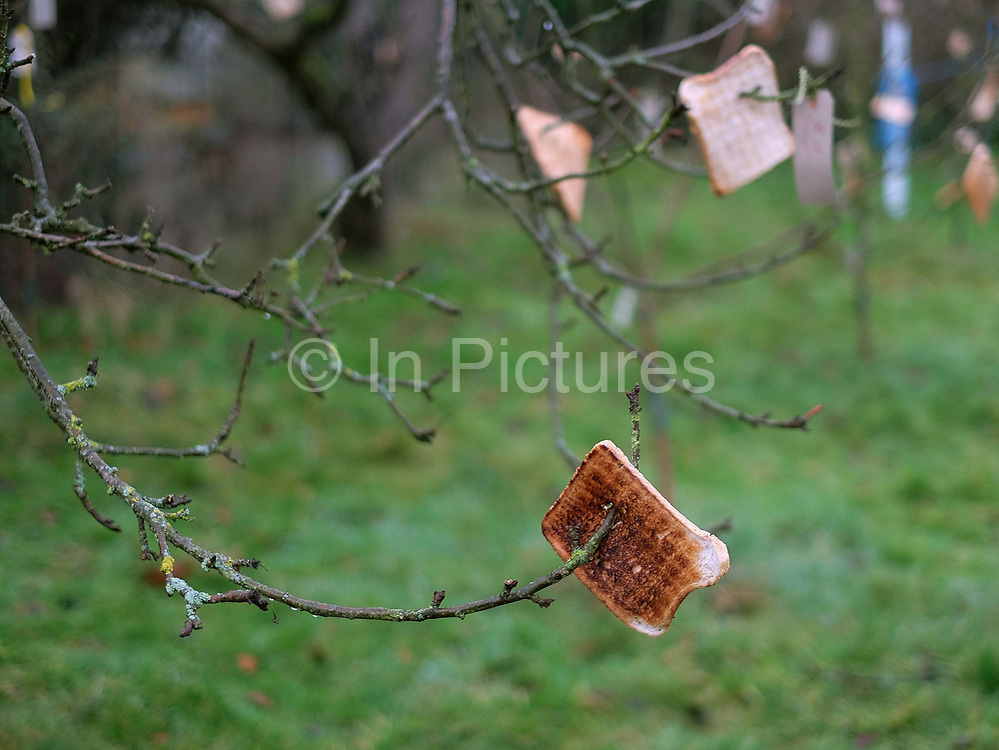 Toast hanging on an apple tree at an orchard-visiting wassail in Kilham village, Yorkshire Wolds, UK on 21st January 2017. Wassail is a traditional Pagan winter celebration in cider-producing regions of England, reciting incantations and singing to the trees to promote a good harvest for the coming year. Pieces of toast soaked in cider are hung in the branches to attract robins to the tree as these are said to be the good spirits of the orchard. To ward off evil spirits, villagers scare them away by banging pots and pans and making as much noise as possible