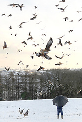 ©London News Picures. 03/12/12. Red kites swarm above snow covered fields near Lampeter West Wales. They are fed by a local retired woman who has been feeding them since 1994. The lady collects the off-cuts of meat from a local abattoir who supplies them for free. The birds have become used to a feeding time of 1500hrs and during the winter months there can be over 80 birds.  Red Kites are distinctive because of their forked tail and striking colour - predominantly chestnut red with white patches under the wings and a pale grey head..They have a wingspan of nearly two metres (about five-and-a-half-feet), but a relatively small body weight of 2 - 3 Ibs..This means the bird is incredibly agile, and can stay in the air for many hours with hardly a beat of its wings...Red Kites are neither particularly strong nor aggressive despite being large birds..Primarily a scavenger and an opportunist. Photo credit should read Andrew Chittock / London News Pictures