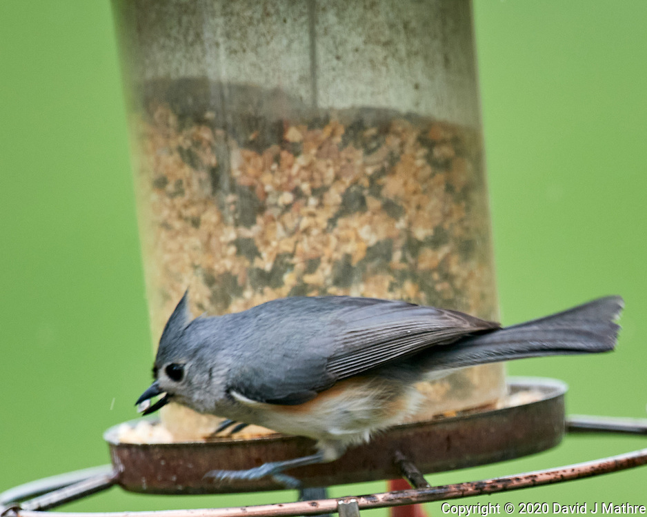 Tufted Titmouse. Image taken with a Nikon D5 camera and 600 mm f/4 VR lens (ISO 1600, 600 mm, f/5.6, 1/640 sec)