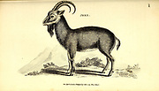 Jbex (Ibex) from General zoology, or, Systematic natural history Vol II Part 2 Mammalia, by Shaw, George, 1751-1813; Stephens, James Francis, 1792-1853; Heath, Charles, 1785-1848, engraver; Griffith, Mrs., engraver; Chappelow. Copperplate Printed in London in 1801 by G. Kearsley