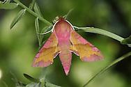 Small Elephant Hawk-moth - Dielephila porcellus