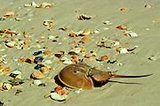 Horseshoe Crab on Beach among seashells - Mississippi