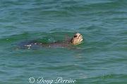 Australian flatback sea turtle (Natator depressus), endemic to Australia and southern New Guinea, raises head to breathe, Australia