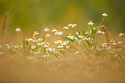 common chamomile (Anthemis cotula)