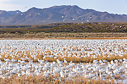 Snow geese gather to feed and mingle in their winter home at the Bosque del Apache National Wildlife Refuge in San Antonio, New Mexico. About 32,000 snow geese overwinter at the refugee and move in mass during the morning and evenings.