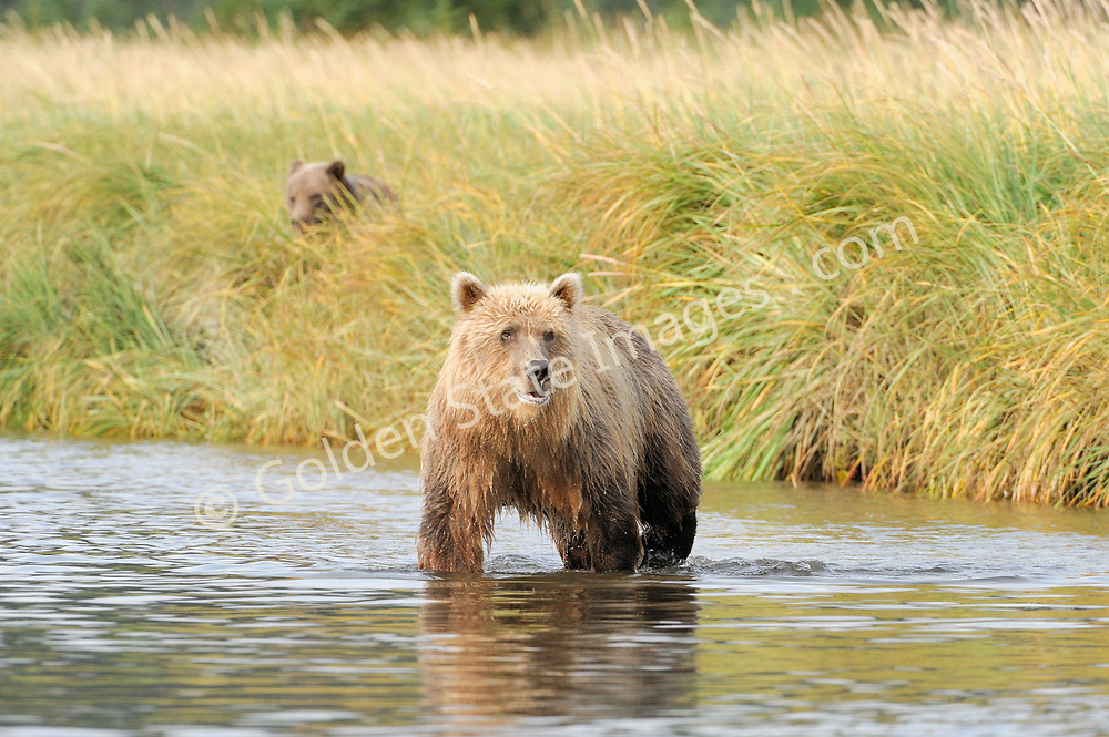 Mom fishing with cub concealed in the sedge grass along the bank. <br /> <br /> Brown Bears and Grizzly Bears are the same species. In general Bears living within 50 miles of the coast are considered browns. Animals living further inland are considered Grizzlies.  <br /> <br /> Grizzlies are omnivores feeding on a variety of plants berries roots and grasses in addition to fish insects and small mammals. Salmon are a key part of their diet. Normally a solitary animal they will congregate along streams and rivers during Salmon runs. Weight to over 1200 pounds.    <br />  <br /> Range: Native to Asia Africa Europe and North America. Now extinct in much of their original range.    <br />   <br /> Species: Ursus arctos