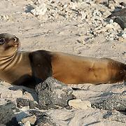 Galapagos Sea Lion (Zalophus californianus) pup sunning herself on white sand. Galapagos, Ecuador.