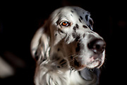 "English Setter ""Rudy"" am 06.03. 2019 in Lysa nad Labem, (Tschechische Republik).  Rudy wurde Anfang Januar 2017 geboren."