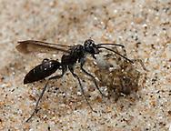Pompilus cinereus attacking Arctosa perita. A spider hunting wasp paralyses a Sand Dune Bear-Spider spider on sand dunes.