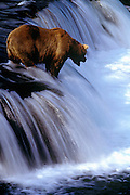 Image of a grizzly bear at Brooks Falls, Katmai National Park, Alaska, Pacific Northwest by Randy Wells