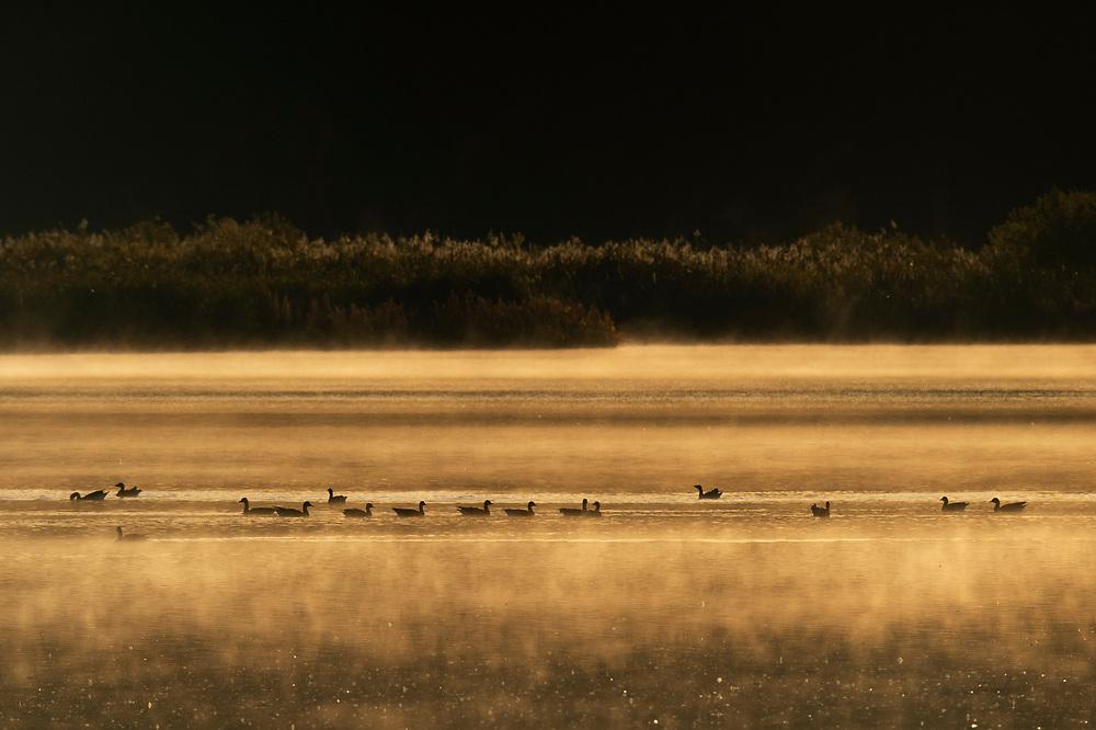 Bean geese, Anser fabalis, Hjälstaviken Nature reserve, Uppland, Sweden
