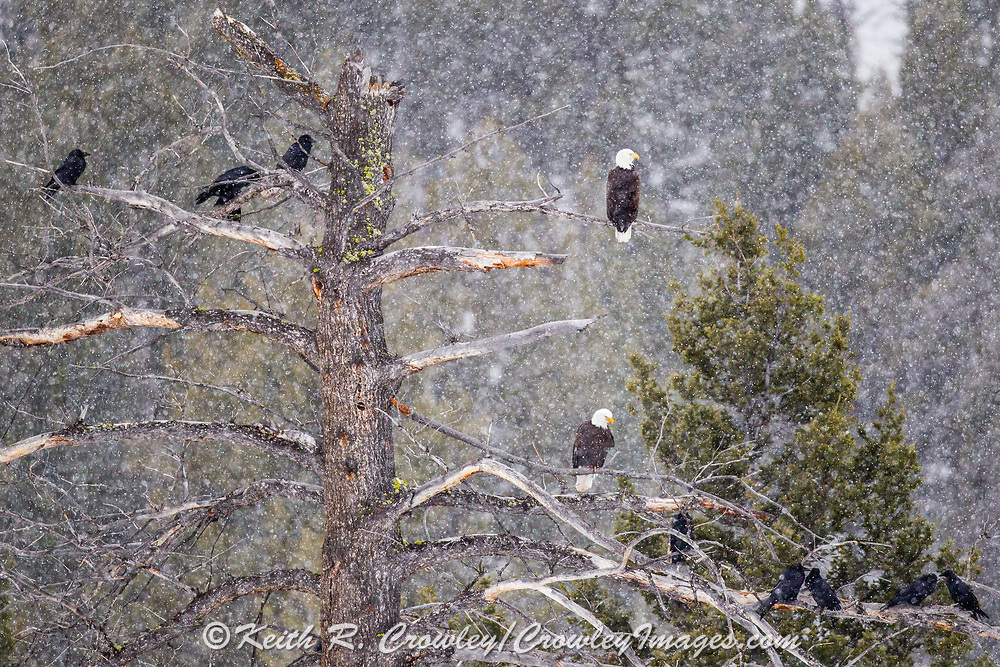 Ravens and Bald eagles sit in a large tree during a snowstorm in Yellowstone.