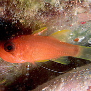 Sawcheek Cardinalfish inhabit reefs, clinging in and around the protective zone of an anemone's tentacles in Tropical West Atlantic; picture taken Grand Cayman.