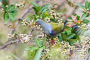 Female African green pigeon (Treron calvus) among figs at from Zimanga, South Africa.