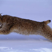 Canada Lynx, (Lynx canadensis) Montana. Running through snow. Winter.Captive Animal.
