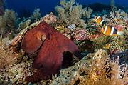 Day Octopus (Octopus cyanea) & Clark's Anemonefish (Amphiprion clarkii) & Magnificent Sea Anemone (Heteractis magnifica)<br /> Raja Ampat<br /> West Papua<br /> Indonesia