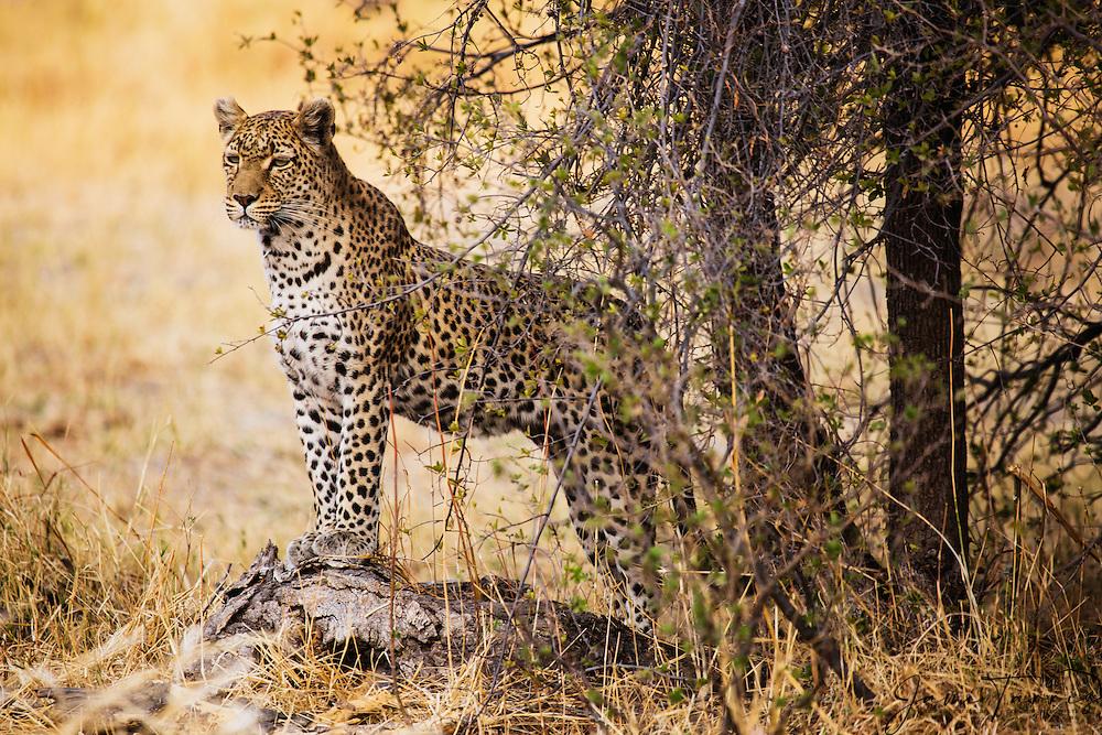 A leopard (Panthera pardus) stands posing on a log, portrait, Khwai River, Botswana