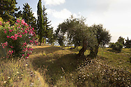 Oleander, Cypress trees and Olive trees on terraces facing the sea on the Orkos Estate, Paxos, Greece, Europe