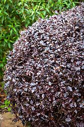 Pittosporum tenuifolium 'Tom Thumb' AGM - Tawhiwhi
