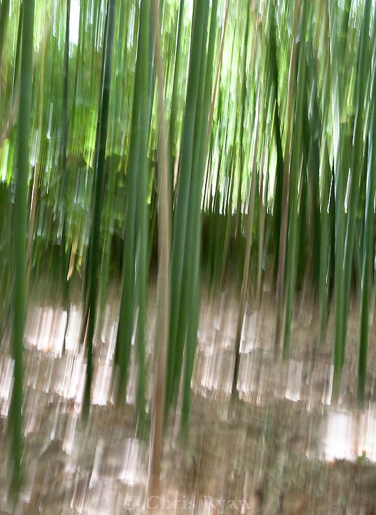 Bamboo in Majorelle Gardens, Marrakesh, Morocco