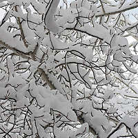 New snow covers branches of an aspen tree near Bozeman, Montana.