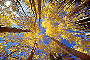 Aspen, Mt. Zirkel Wilderness Area, CO
