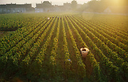 Vandange at dawn with grape pickers and the basket carrier, 20th September 1976, Puligny-Montrachet, France.