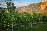 Apple orchard near Lake Chelan