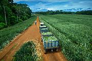 Pineapple Farm in the Sarapiqui region of Costa Rica.