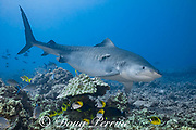 tiger shark, Galeocerdo cuvier, with remora or suckerfish clinging to flank, bluefin trevally, racoon butterflyfish, threadfin butterflyfish, and other reef fish in foreground; Honokohau, Kona, Big Island, Hawaii, USA ( Central Pacific Ocean )