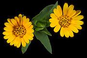 Marigold (Calendula arvensis) - Acker Ringelblume