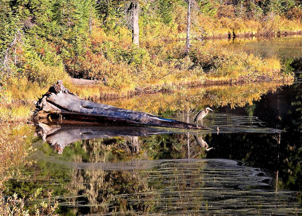 Heron on Lakeshore Fishing, Mt Rainier Nat. Park, WA.