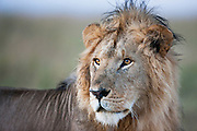 A portrait of a male African lion(Panthera Leo) in the Masai Mara, Masai Mara, Kenya,Africa