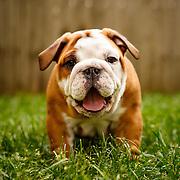 Judi - English Bulldog Puppies