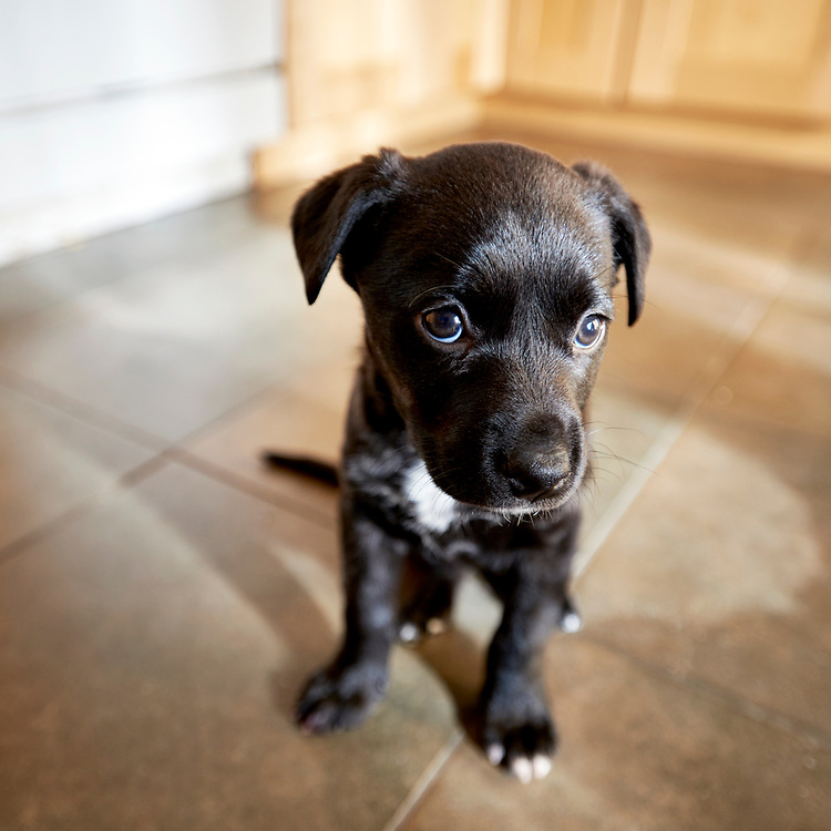 Black puppy in a kitchen looking up at camera