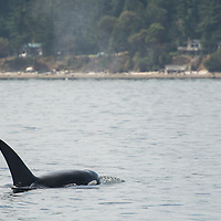 Transient orca, also know as Biggs killer whales, seen in the San Juan Islands, Washington, USA. Killer whales are actually the largest members of the dolphin family, and are regularly seen in the Salish Sea of Washington and British Columbia. Transient orca feed exclusively on marine mammals, including seals, sea lions, and even dolphins and baleen whales.  September 2, 2013. Photo © William Drumm.