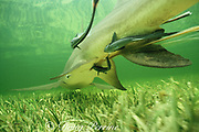 Afterbirth trails from cloaca of lemon shark, Negaprion brevirostris, between live births of pups, remoras stay close at hand - they will eat the afterbirth, Bimini, Bahamas ( Western Atlantic Ocean )