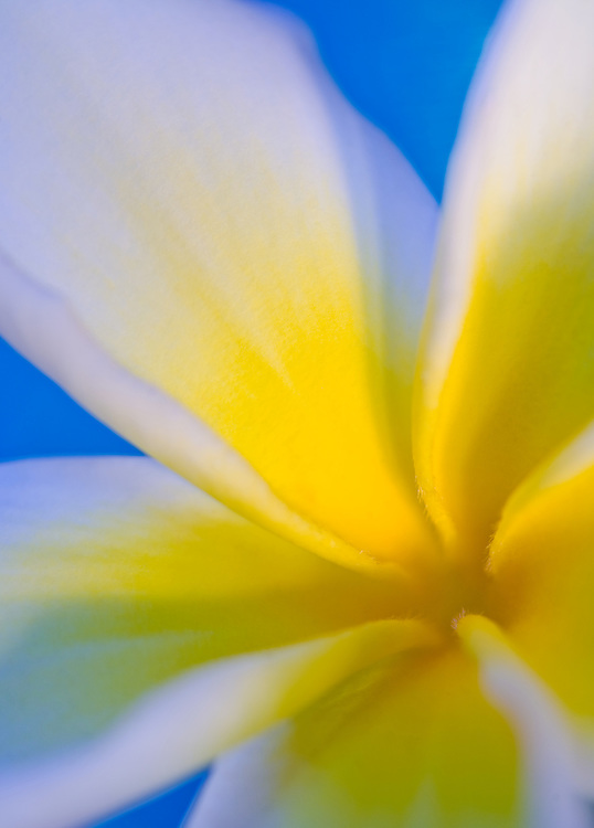yellow plumeria vertical flower with blue background soft look to it