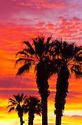 Silhouetted palms at sunrise, Anza-Borrego Desert State Park, California USA