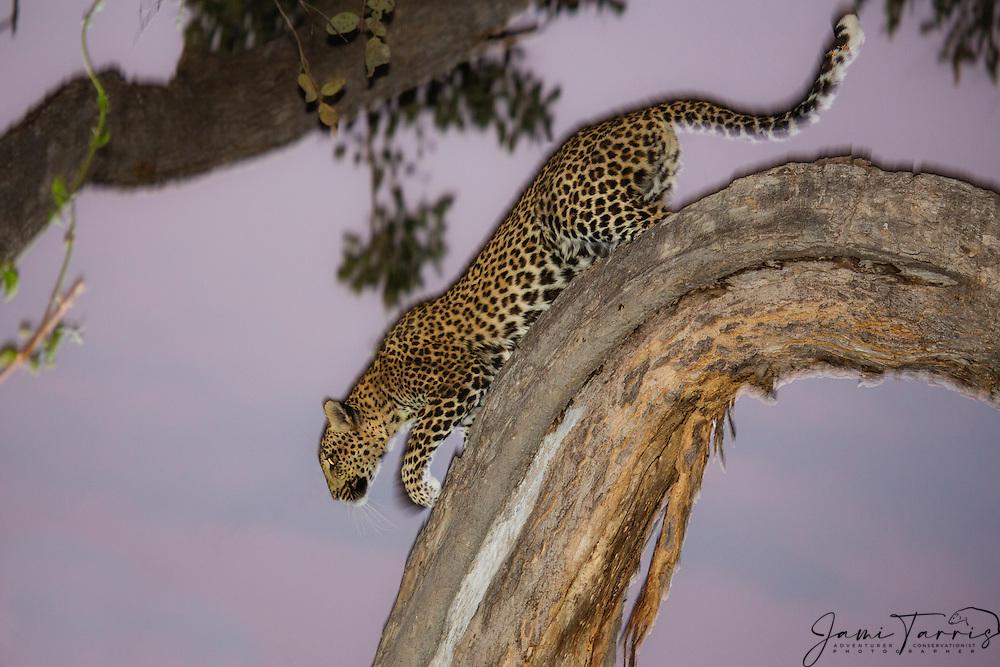 An alert and anxious leopard (Panthera pardus) climbing down a tree at dusk, Chobe National Park, Botswana, Africa