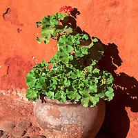 South America, Peru, Arequipa. Geraniums at Monasterio de Santa Catalina.