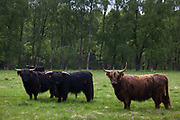 Four young Scottish Highland bulls in a meadow in the Cairngorm National Park.
