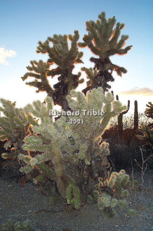 """Chained Fruit Cholla or """"jumping"""" Cholla Photos from Saguaro National Park west Saguaro National Park west"""