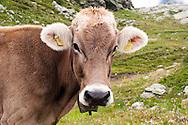 Svizzera, mucca al pascolo, ecosentiero della Valposchiavo.