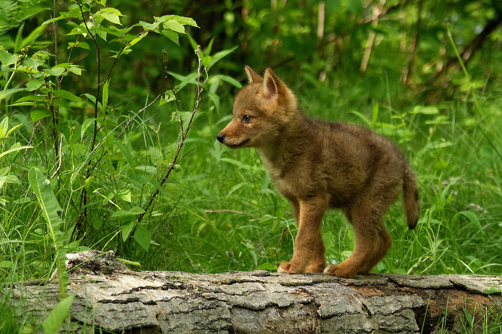 """Adorable coyote pup exploring the environment.<br /> <br /> Available sizes:<br /> 18"""" x 12"""" print <br /> 18"""" x 12"""" canvas gallery wrap <br /> 24"""" x 16"""" print<br /> <br /> See Pricing page for more information. Please contact me for custom sizes and print options including canvas wraps, metal prints, assorted paper options, etc. <br /> <br /> I enjoy working with buyers to help them with all their home and commercial wall art needs."""