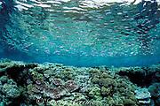 baitfish over shallow reef,<br /> A'a Island,<br /> Vava'u, Tonga, South Pacific