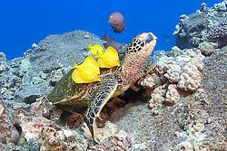 green sea turtle, Chelonia mydas, being cleaned by yellow tang, Zebrasoma flavescens, and gold-ring surgeonfish, Ctenochaetus strigosus, Kona, Big Island, Hawaii, Pacific Ocean