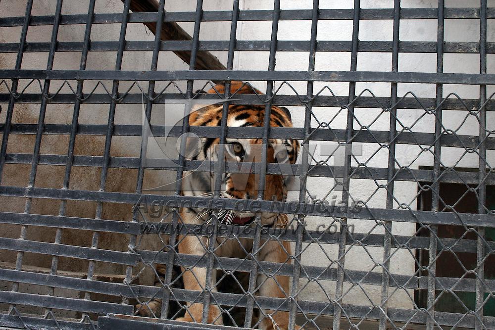 CALIMAYA, México.- Tibetana, una tigresa producto de un decomiso por PROFEPA en Cancún,  ha presentado una notable mejoría después de haber sido sometida a un tratamiento con células madre  por una lesión que presentaba en las vértebras lumbares, ya puede sostenerse en sus cuatro extremidades y andar por su jaula. Agencia MVT / José Hernández. (DIGITAL)