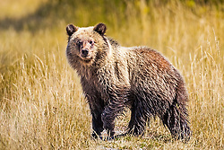 A grizzly cub experiencing his first autumn in Grand Teton National Park. It is amazing how fast that grow.  This is one of Grizzly 399's cubs of the 2017 cub crop.<br /> <br /> Contact for custom print options or inquiries about stock usage  - dh@theholepicture.com