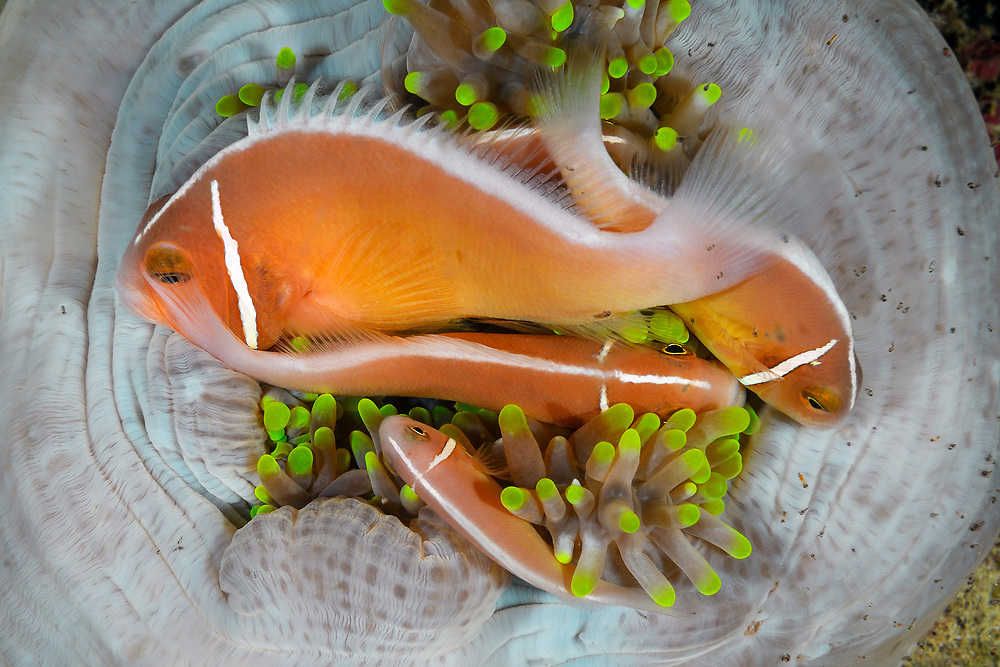 """Sleeping pink anemonefish, Amphiprion perideraion, also known as the pink skunk clownfish is widespread from northern Australia through the Malay Archipelago and Melanesia.Expedition """"In the footsteps of Alfred Wallace"""" to Bird's neck peninsular, Papua Barat province, Indonesia (Island New Guninea)"""